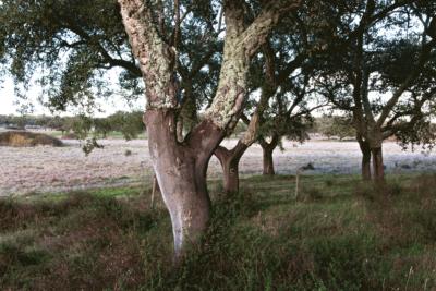 Cork Oak (Quercus Menor)